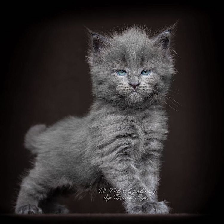 Maine Coon Kittens 20+ Photos of Who Look Like Majestic ...