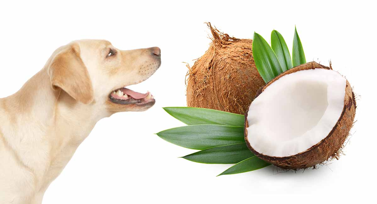 Can Dog Eat Dry Coconut?
