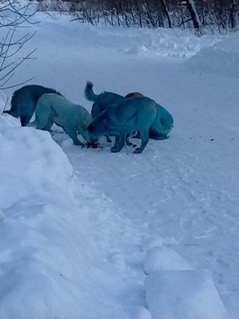 blue dogs in russia