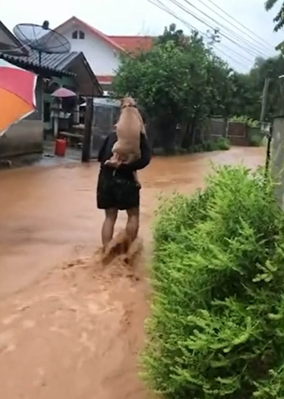 Man carries his dog on his back to rescue him from flooding   Kitten Vs Puppy